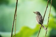 长尾缝叶莺图片(9张)