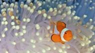 可爱的小丑鱼图片(13张)