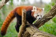 褐红色的小熊猫图片(14张)