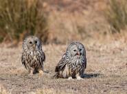 长尾林鸮图片(9张)