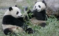 熊猫图片(17张)
