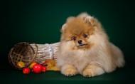 肉乎乎的博美犬图片(8张)