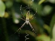 会写英文的横纹金蛛图片(14张)