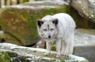 凶残的野狼图片(16张)