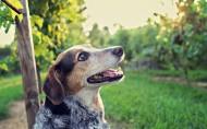 可爱的澳洲牧牛犬图片(25张)
