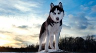 雪橇犬哈士奇图片(27张)