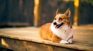 可爱柯基犬图片(11张)