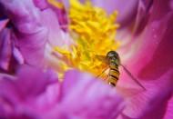 花心上的蜂蝇图片(5张)