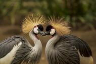 黑冠鹤图片(10张)