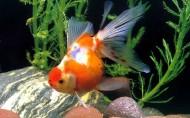 金鱼图片(24张)