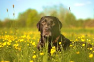 黑色的拉布拉多犬图片(14张)