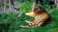 凶猛的老虎图片(10张)