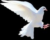 白鸽图片(11张)
