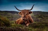 可爱的牦牛图片(14张)