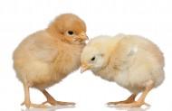 可爱的小鸡图片(8张)