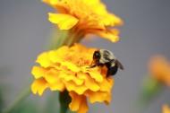 采蜜的蜜蜂图片(12张)