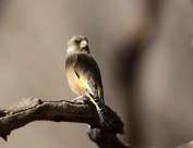 华丽金翅雀鸟类图片(6张)