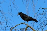 漆黑的乌鸦图片(15张)
