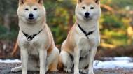 秋田犬图片(8张)