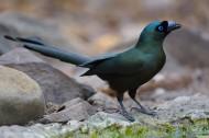 盘尾树鹊鸟类图片(6张)