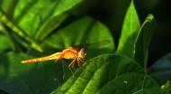 蜻蜓图片(11张)