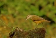 大苇莺图片(9张)