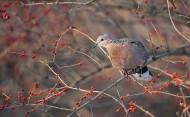斑鸠图片(7张)