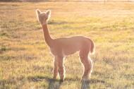 可爱羊驼图片(9张)