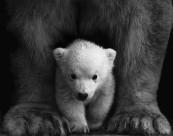 笨拙的北极熊图片(10张)