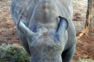 白犀牛图片(6张)