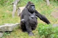 大猩猩图片(7张)