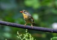 红嘴相思鸟图片(15张)