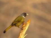 领雀嘴鹎图片(10张)