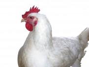 胖胖的母鸡图片(15张)