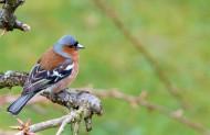 小型鸟类——燕雀图片(15张)