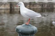 白色的海鸥图片(9张)
