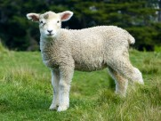 可爱的绵羊图片(11张)