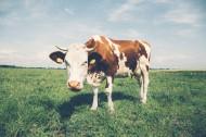 好看的奶牛图片(10张)