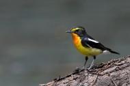 黄眉姬鹟鸟类图片(8张)