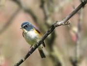 枝头上的红胁蓝尾鸲图片(7张)
