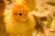 雏鸡图片(14张)