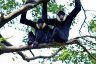 长臂猿图片(5张)