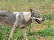 凶猛的狼图片(20张)