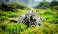 两匹斑马高清图片(15张)