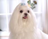 马尔济斯犬图片(20张)