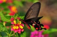 玉带凤蝶图片(12张)