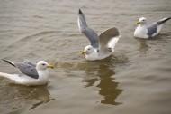 水上游玩的海鸥图片(10张)