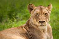 雄壮的母狮图片(13张)
