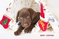咖啡色的拉布拉多圣诞图片(10张)