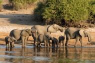 成群结队的大象图片(14张)